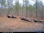 Train of Gobblers (600 x 450).jpg