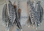 Barred turkey feathers.jpg